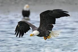 stellers sea eagle wallpapers eagle wallpaper 1758 3840x2160