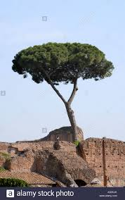 trees ruins in the palatino palatine rome the pine
