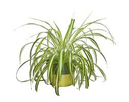 Spider Plant Spider Plant Clipart 7