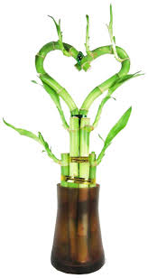 amazon com set of 2 live heart shape 6 style lucky bamboo plant