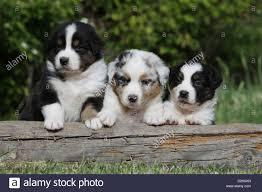 2 australian shepherds australian shepherd puppies black tri blue merle stock photos