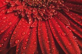 gerbera colors gerbera flower meaning flower meaning