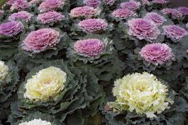 fall gardening how to grow cold weather vegetables auntie
