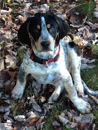 bluetick coonhound apparel 36 best bluetick redbone coonhounds images on pinterest animals