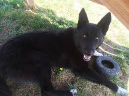 belgian sheepdog mixed with border collie my border collie german shepherd mix that i just adopted from