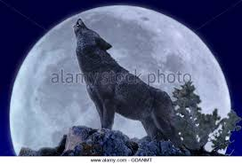 silhouette wolf howling moon stock photos silhouette wolf