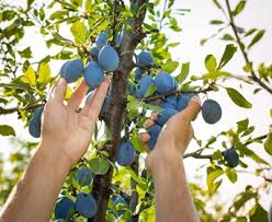 should i be pruning fruit trees in summer
