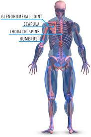 Muscle Anatomy Of Shoulder Built By Science Shoulders