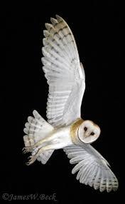 What Does A Barn Owl Look Like Best 25 Barn Owl Tattoos Ideas On Pinterest Owl Art Owl Sketch
