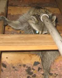 prices how much does raccoon removal cost humane raccoon removal