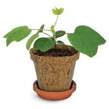 tree to be kit tree to be kit easy to grow tulip tree with