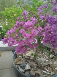 can you grow bougainvillea in pots growing mandevilla vines