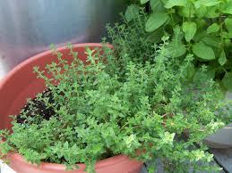 herb garden plants home outdoor decoration