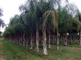 florida palm wholesale nursery palms realpalmtrees