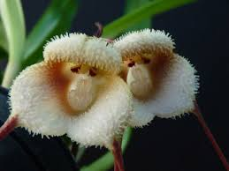 monkey orchid best 25 monkey orchid ideas on flowers in
