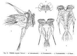Redox Bad Oldesloe Species U2013 Search The Rotifer World Catalog