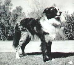 australian shepherd name origin las rocosa australian shepherds