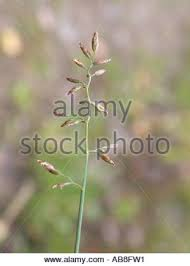 kanada fläche kanada blue grass flache wiese grass poa compressa blatt und