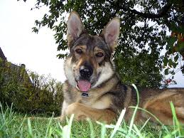 belgian shepherd wolf mix mixed dog breeds shop for your cause