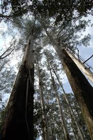 eucalyptus regnans tallest tree in the south you didn t