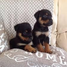 belgian shepherd for sale in pakistan kohat dogs for sale pakistan classifieds ads kohat dogs for sale