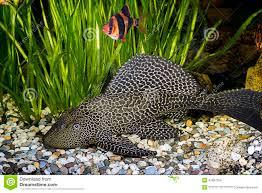 armored catfish in the home aquarium stock photo image 47997324