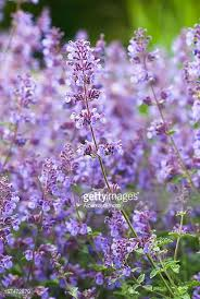 Catnip Flower - catmint stock photos and pictures getty images