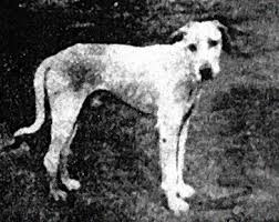 american eskimo dog in india 10 interesting dog breeds that originate in india morganslists