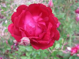china with roses april slater s crimson china the new zealand society