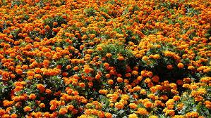 mlewallpapers com multitude of orange marigolds