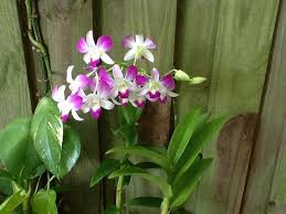 dendrobium orchid how to care for a dendrobium orchid 12 steps with pictures