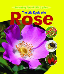 Life Cycle Of A Flowering Plant - the life cycle of a rose learning about life cycles ruth