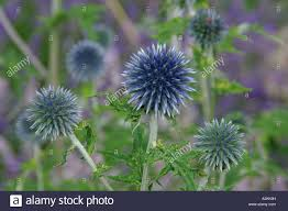 echinops bannaticus ornamental globe thistle stock photo royalty