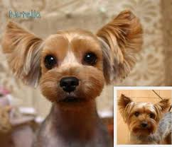 pictures of yorkie haircuts best 25 yorkie cuts ideas on pinterest yorkie haircuts yorkie