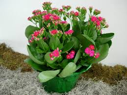 propagate a kalanchoe by stem cuttings plant division and