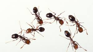 get rid of tiny thief or grease ants in your home