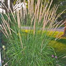 karl foerster feather reed grass calamagrostis acutiflora