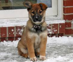 belgian shepherd labrador retriever mix german shepherd golden retriever mix omg he looks just like my