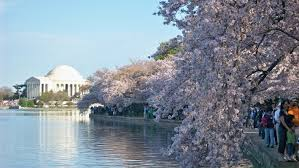 Cherry Blossom Facts by 10 Places To See Stunning Cherry Blossoms Around The World