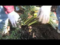 Canna Lily Gardening Tips How To Divide Canna Lilies Youtube