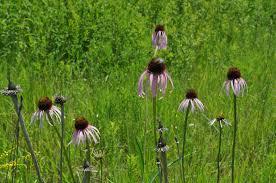 native prairie plants illinois illinois natural history survey plants