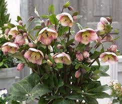 415 best helleborus images on pinterest flowers shade plants