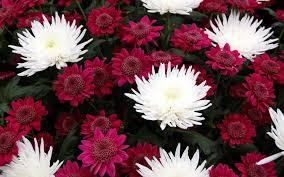 burgundy flowers flowers page 231