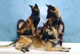 belgian shepherd breeders south africa breeders