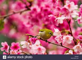 japanese white eye attract honey on cerry blossom tree stock photo