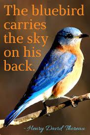 best 25 bluebirds ideas on pinterest beautiful birds blue bird