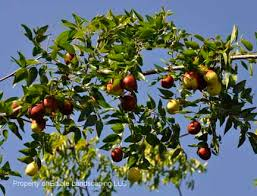 jujubes edible landscaping