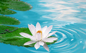 widescreen images about lotus flower removable wall the with