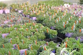 plants for rock gardens powell gardens u0027 blog spring plant sale 2011