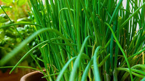 erba cipollina in vaso piante aromatiche in vaso guida alla coltivazione sul balcone
